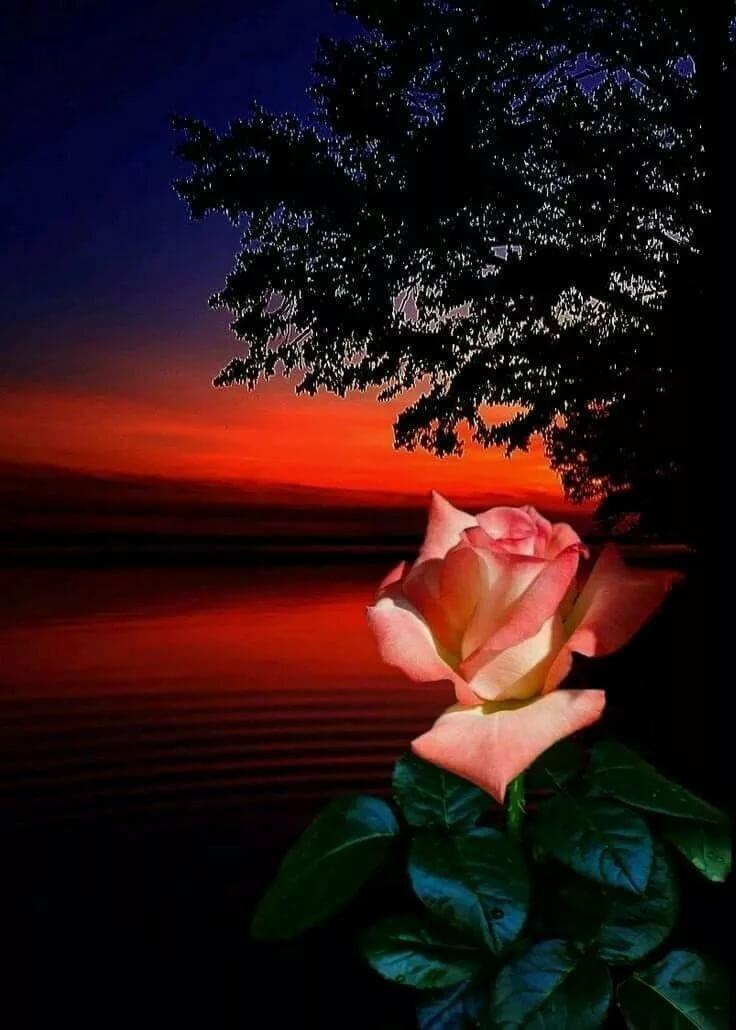 Подарок, розы картинки спокойной ночи