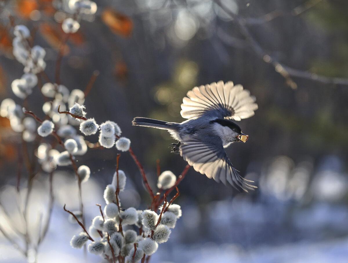 картинки ранняя весна верба и птички для