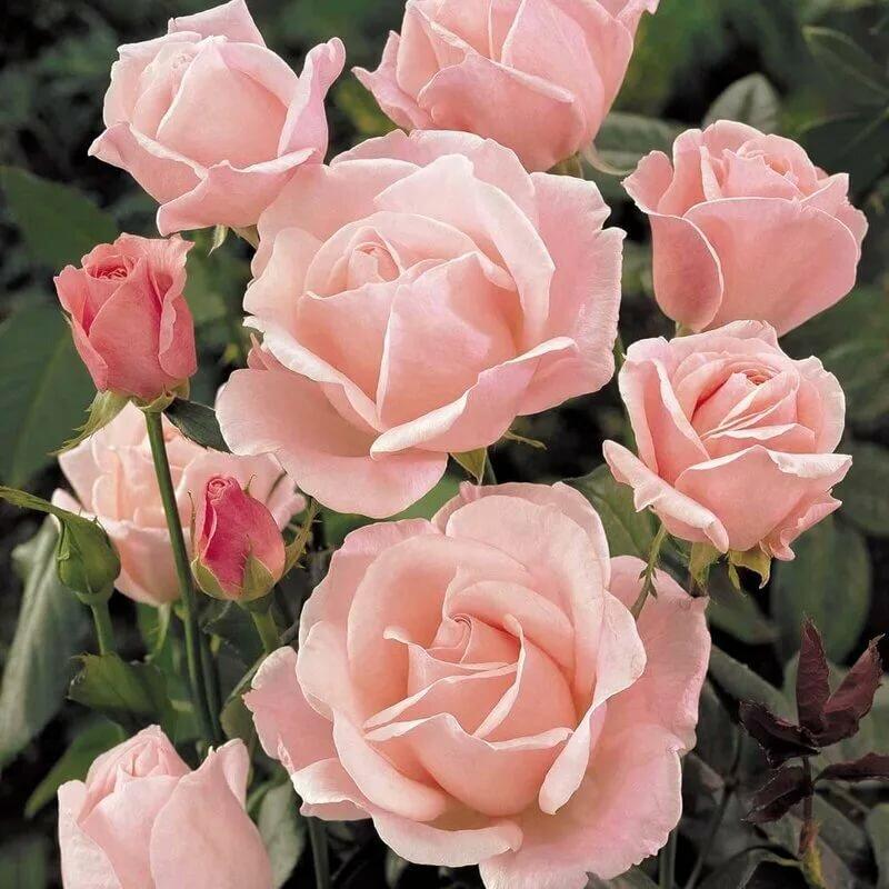 понедельник розы в картинках отзывы детальным
