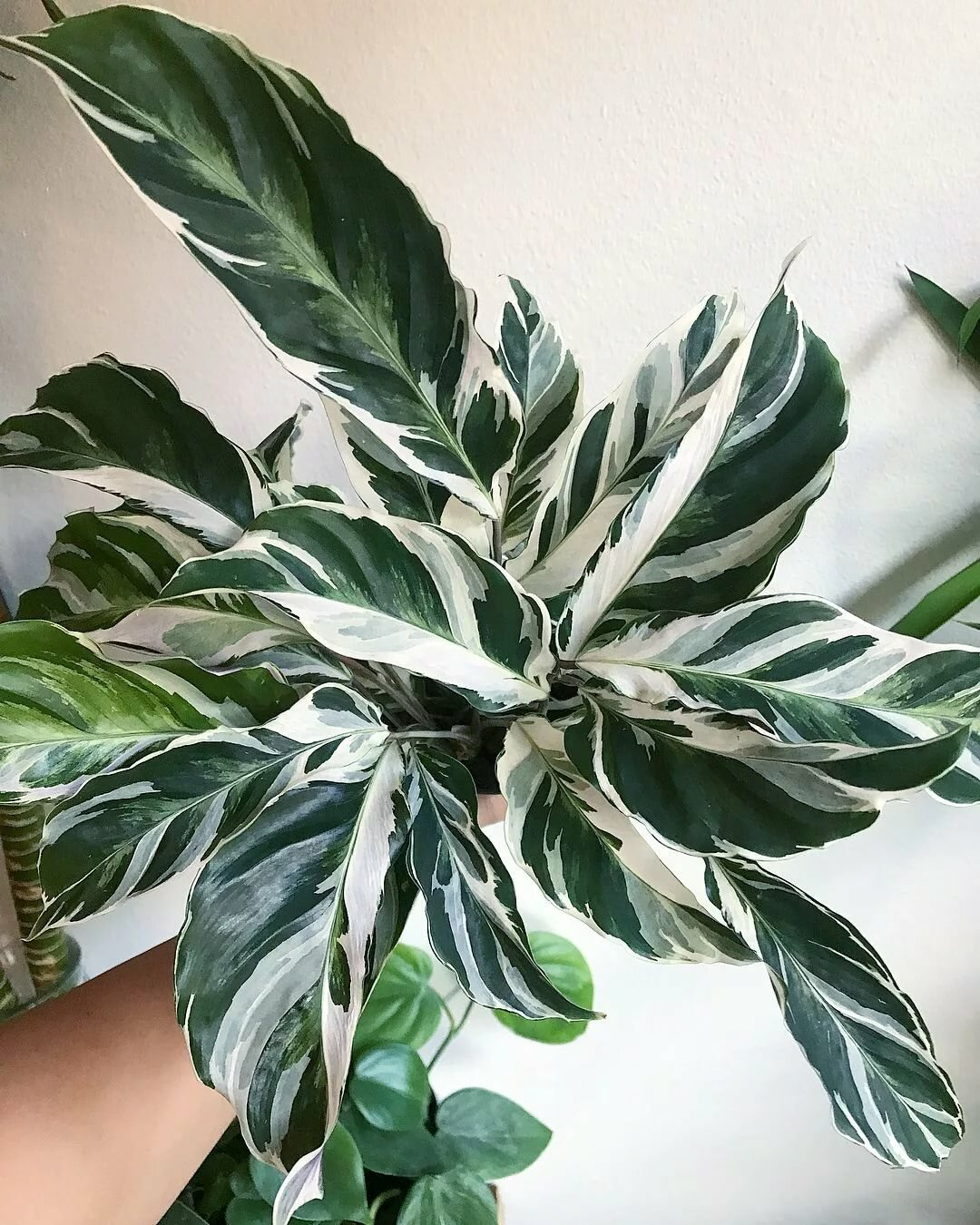 поверьте, секрет, фото комнатного цветка с бело зелеными листьями такого