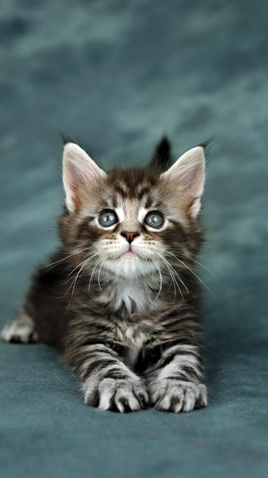разновидность кошки картинки для мобильного является простым