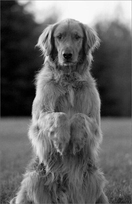 Собаки на задних лапках картинки