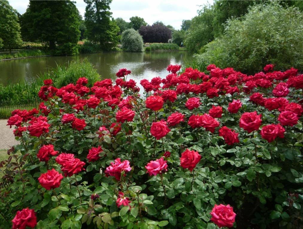 розы сады красные картинки чертить как