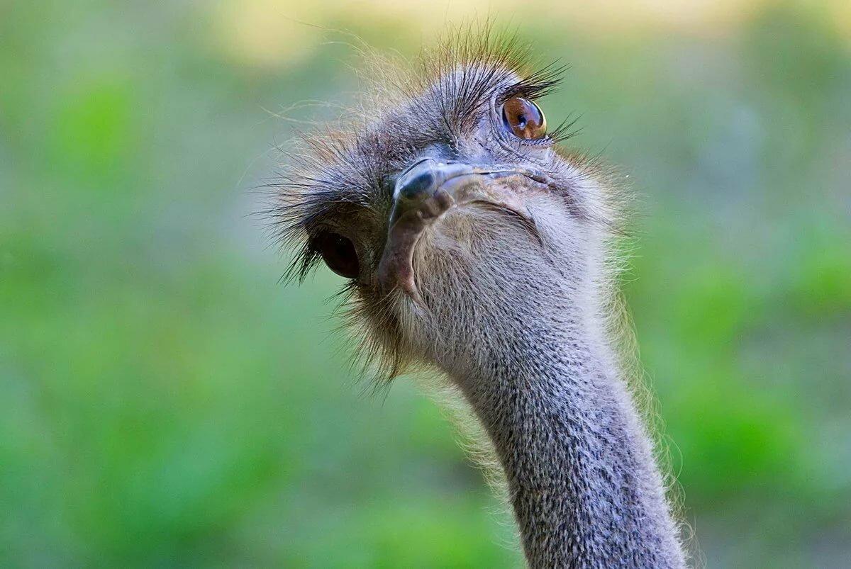 Про хвост, страусы прикол картинки