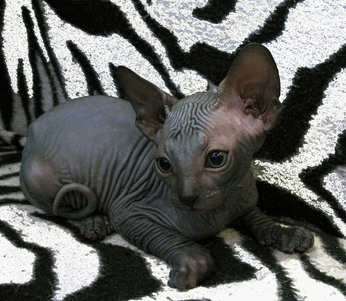 рады картинки домашней кошки сфинкс поделиться своими красивыми