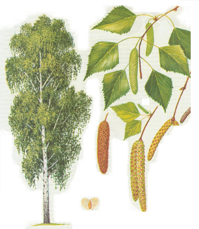 Картинка дерево березка для детей