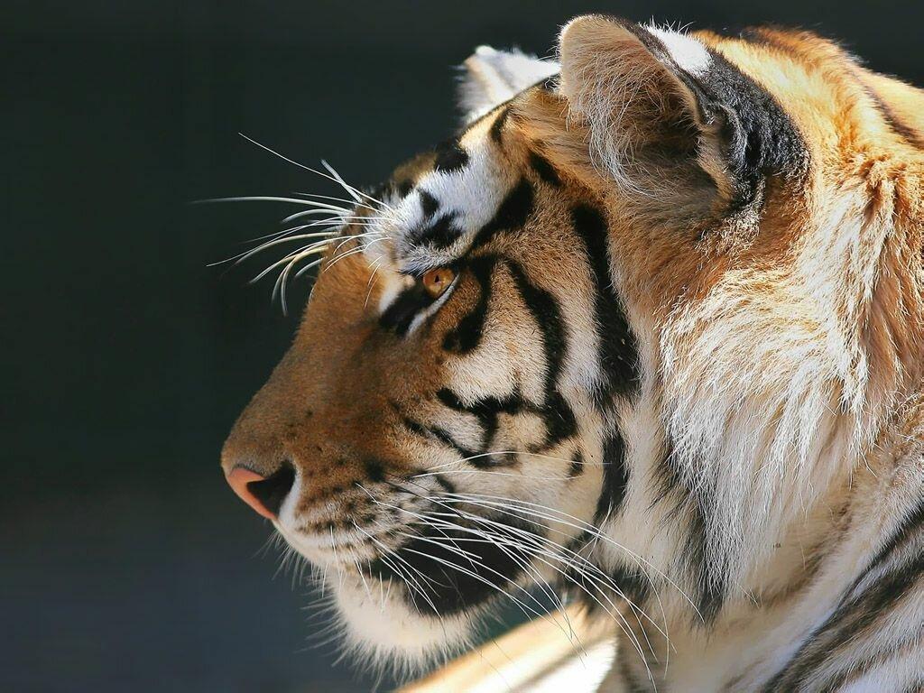 Картинки львов и тигров с надписями