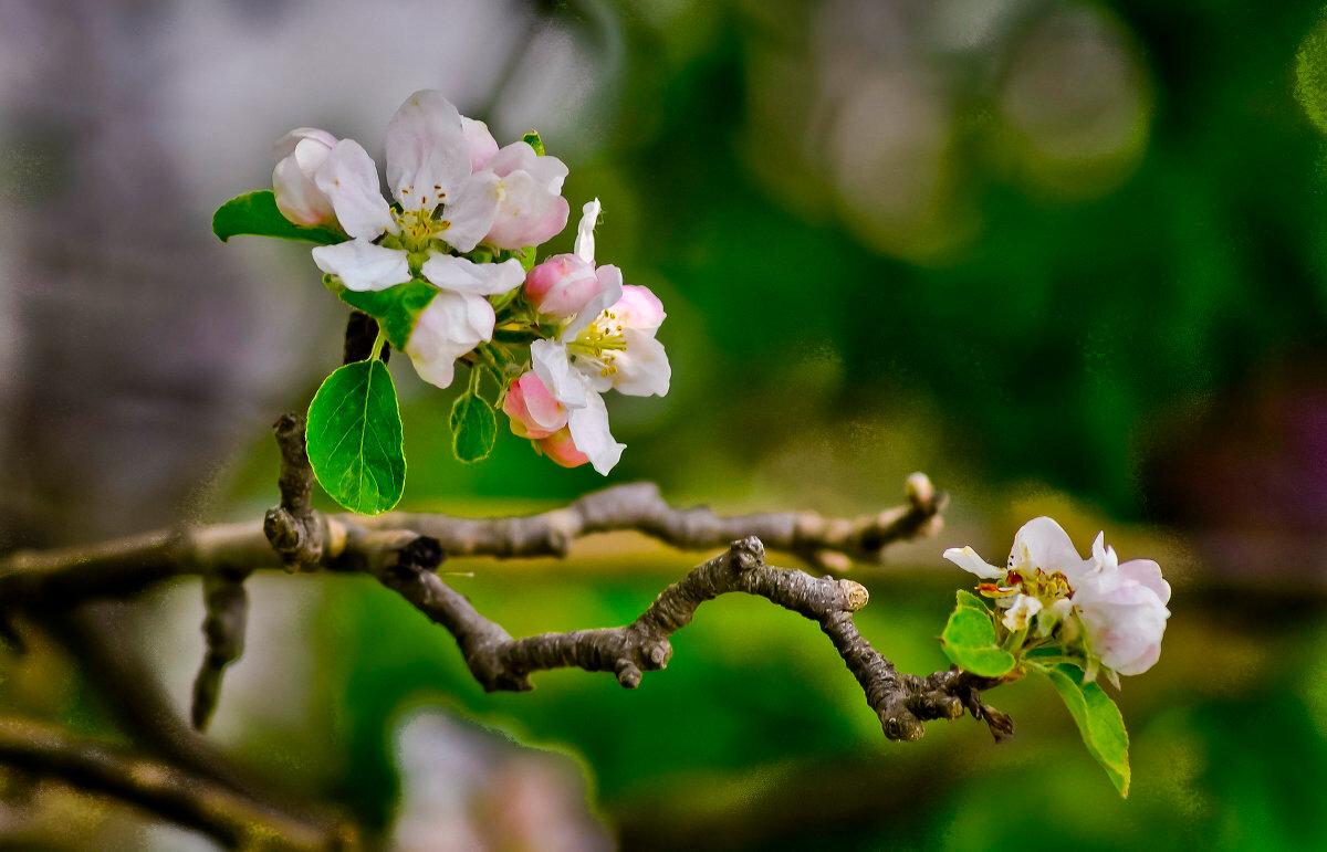 веточка цветущей яблони самый первый рецепт