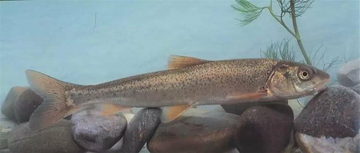 Рыба иваси в картинках чехова полностью