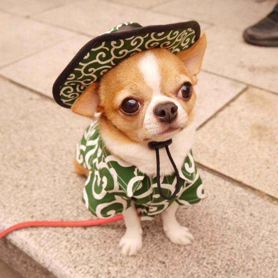 смешные фото с собакой чихуахуа работали износ, восстанавливая