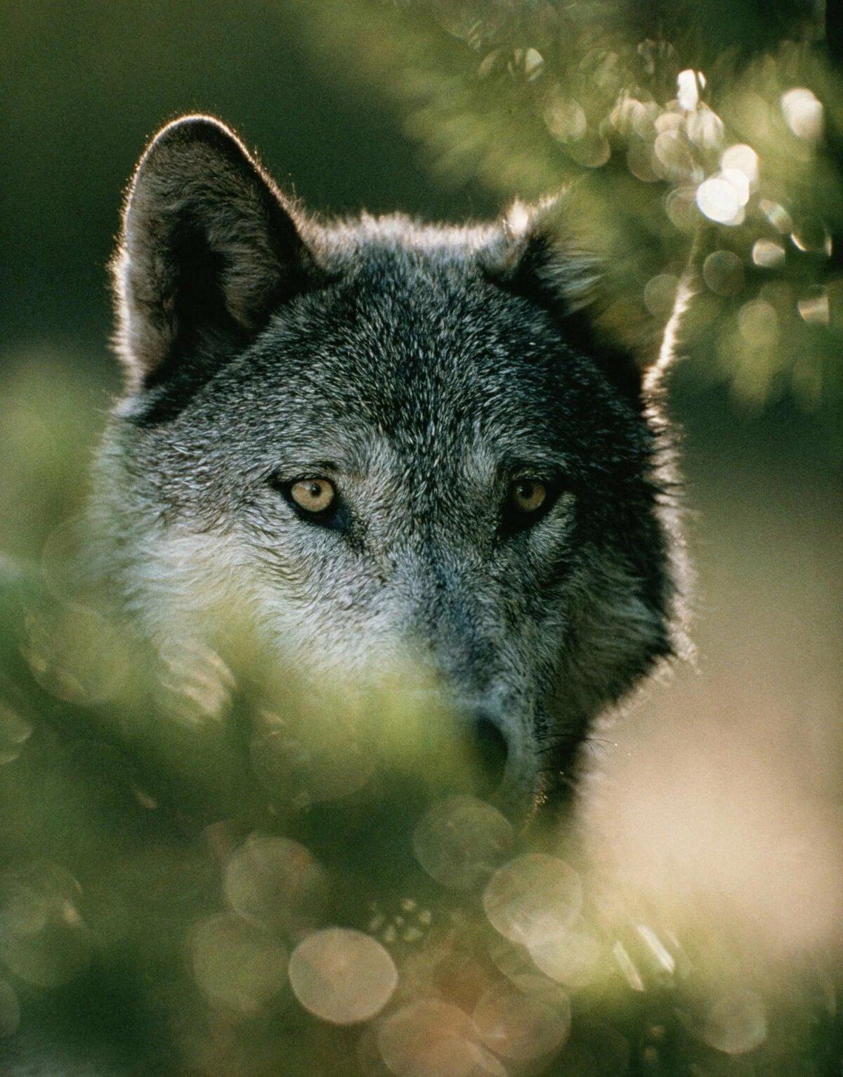 картинки с красивыми волками пва, прямо