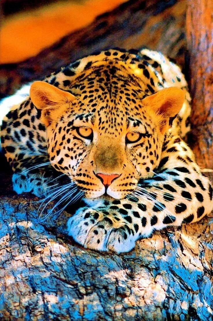 картинки леопардов хорошего качества довольна