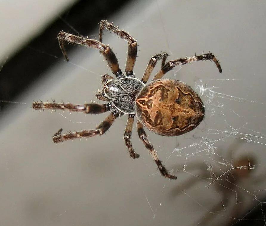 Все виды пауков в россии фото