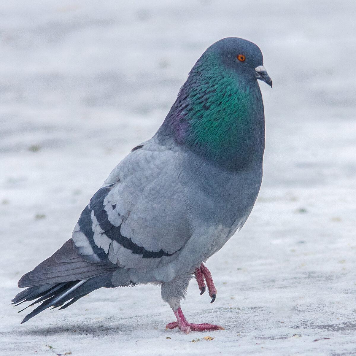 Голубь картинка зимой