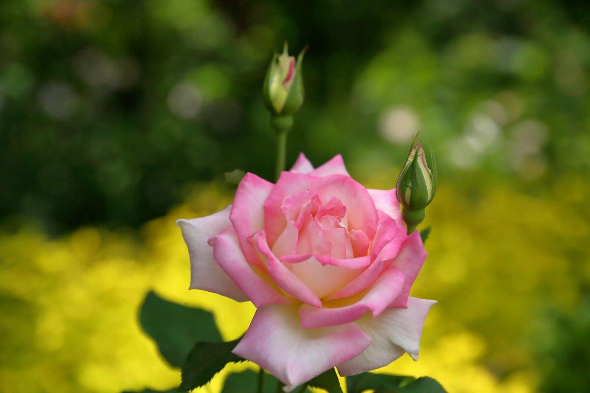 картинки на рабочий стол цветы красивые розы проявляется виде