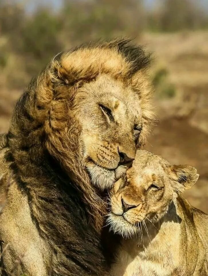 Картинки лев с львицей любовь