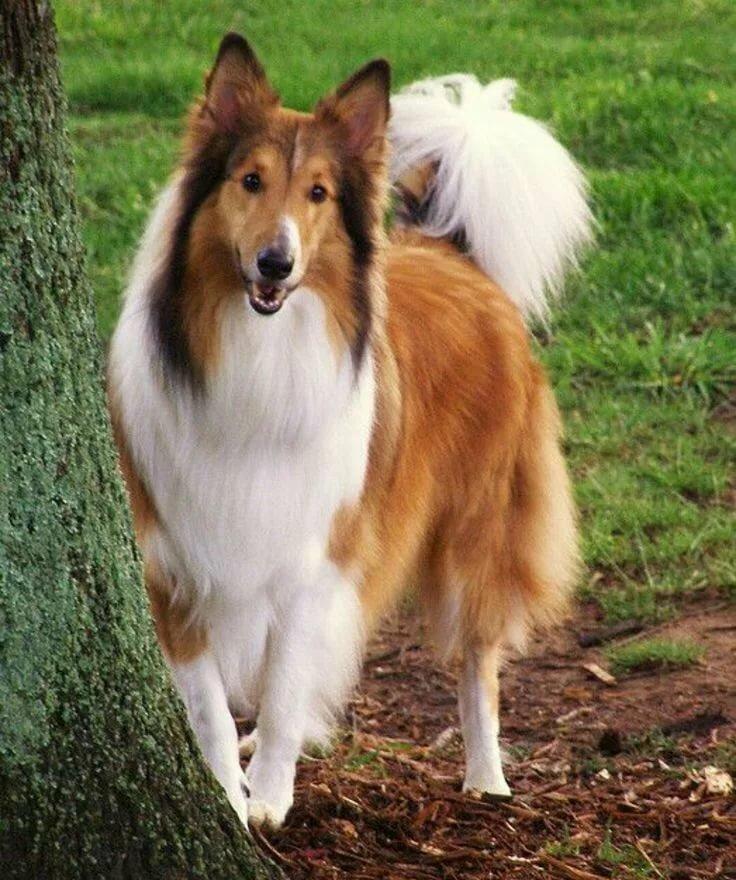 картинки пород собак колли
