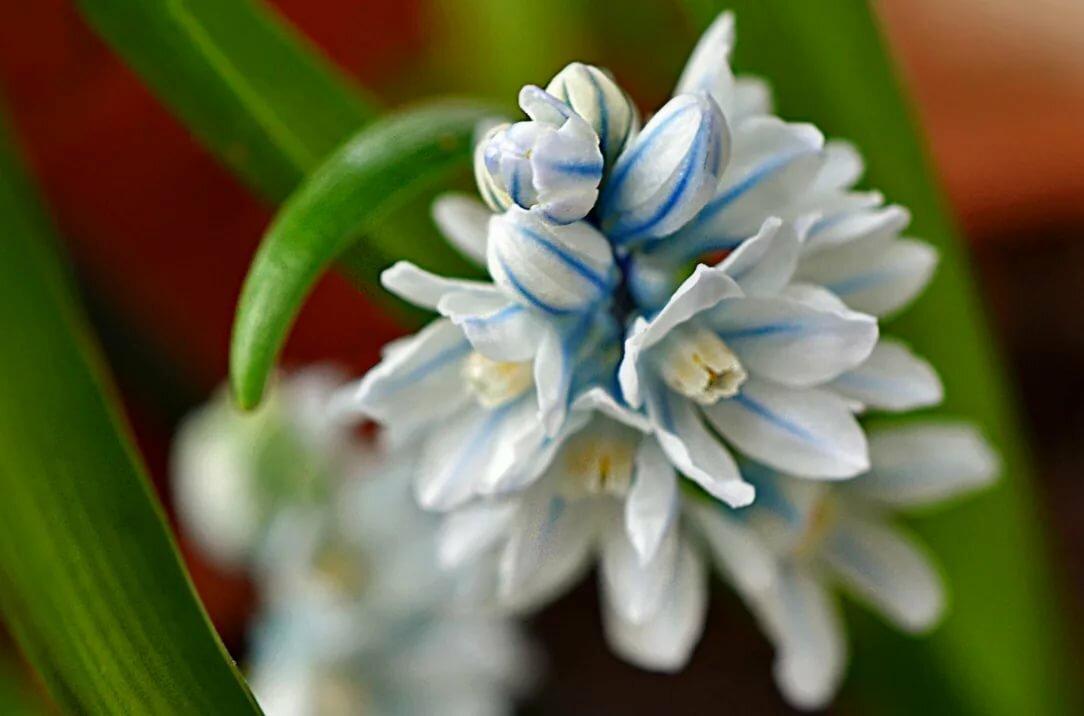 Что такое цветок пушкиния фото