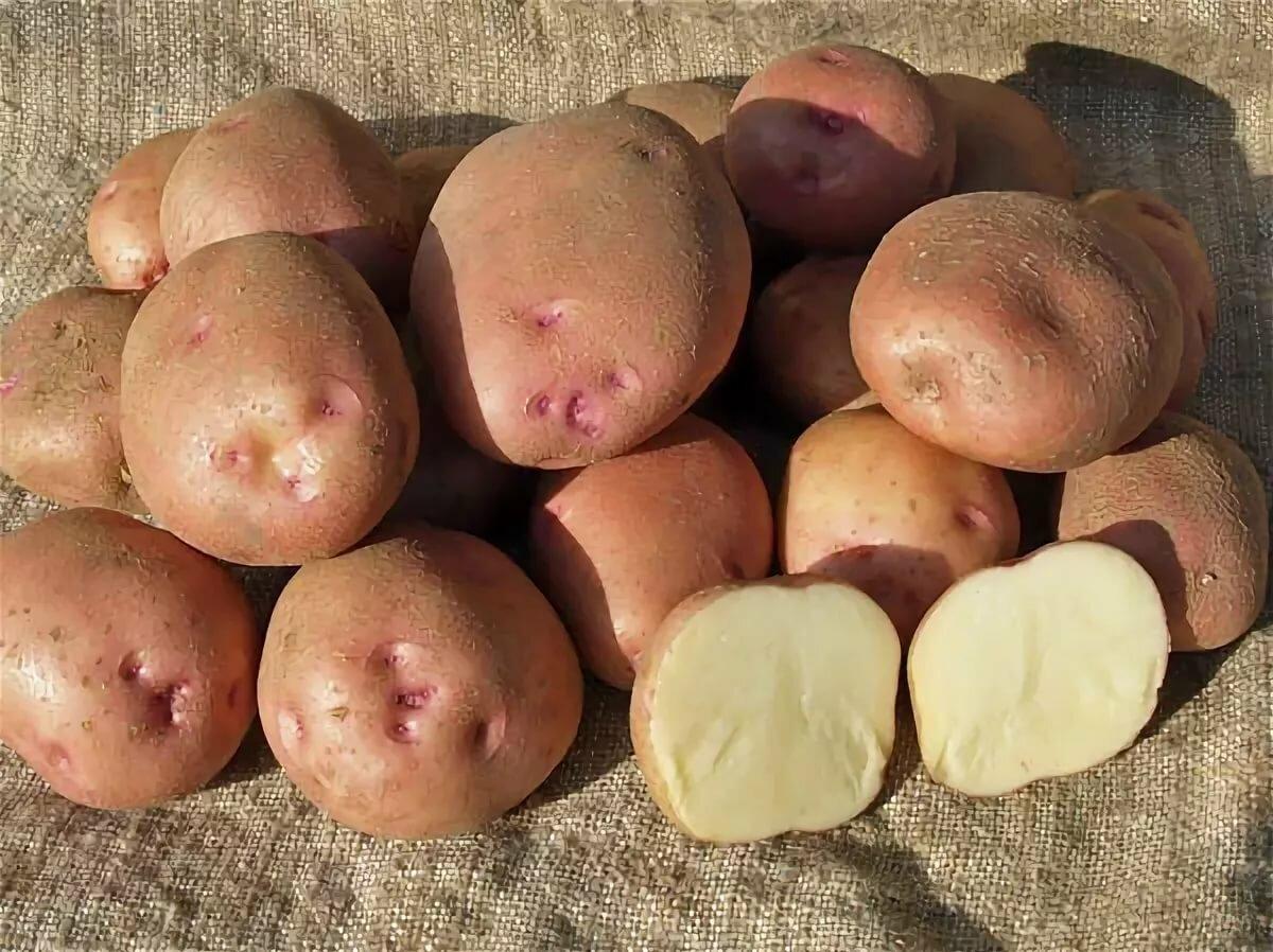 Название сортов картофеля с картинками