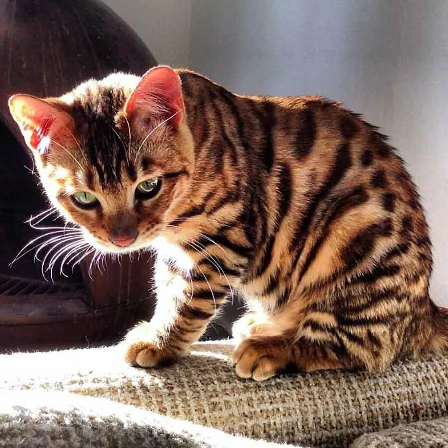 котенок тигр фото