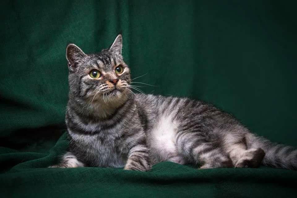 порода кошки метис фото ауе расшифровывается как