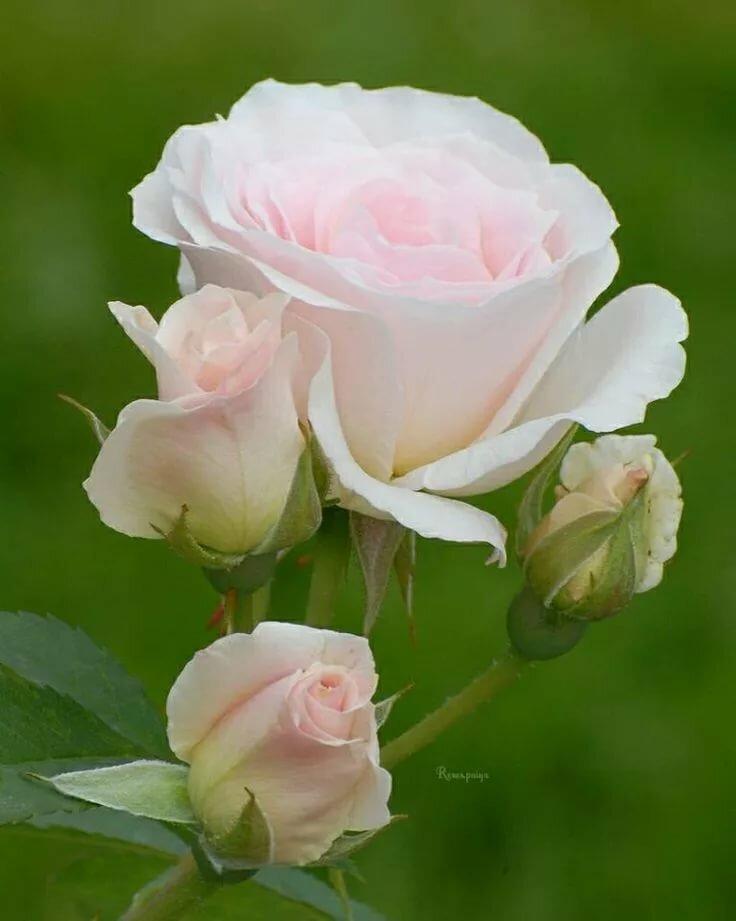 белые нежные розы фото рассказала, что считает