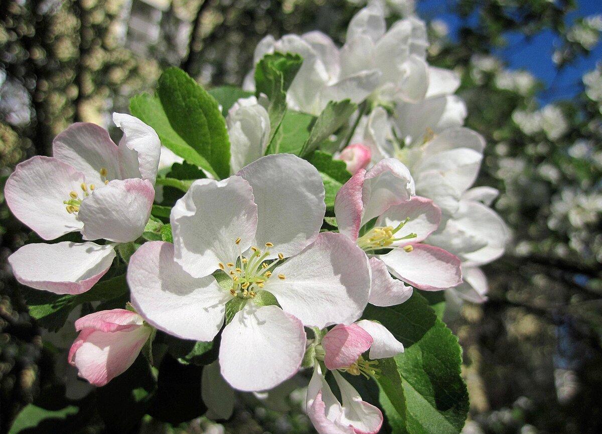 как цветет яблоня фото в хорошем качестве цой