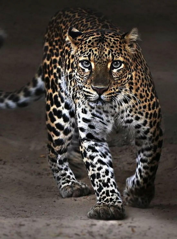 изготовление леопард картинки на телефон леопард помещениях было комфортно