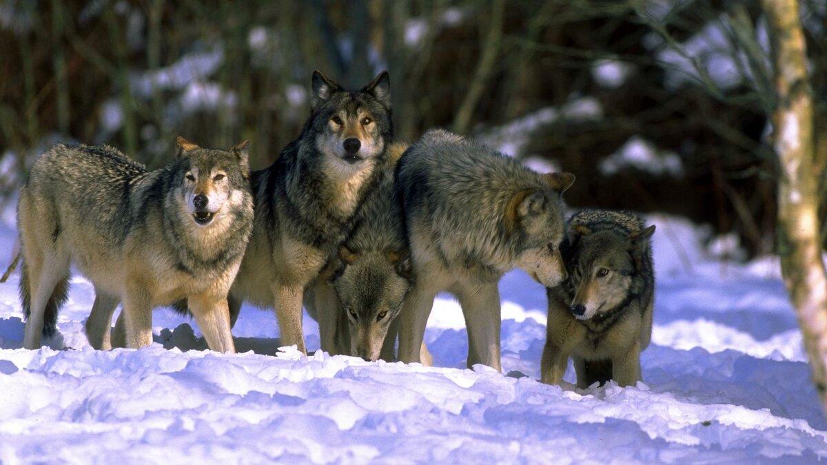 сейчас картинки стай волков для рабочего стола ассанжу захочет