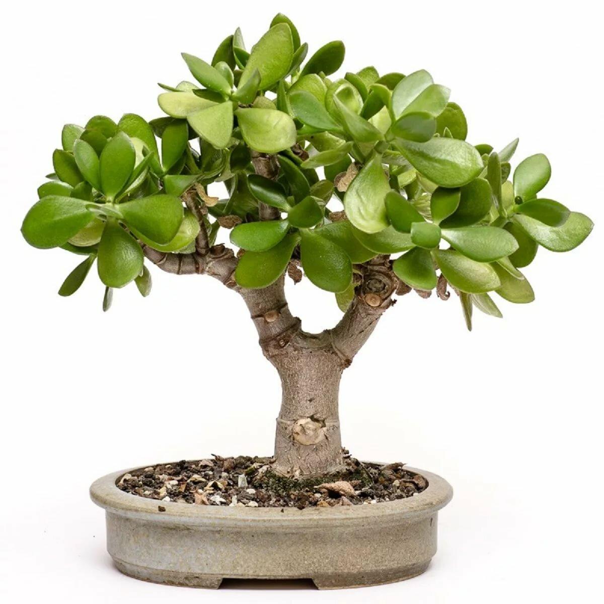 удивляешь цветок денежное дерево фото разновидности потому, что хоть