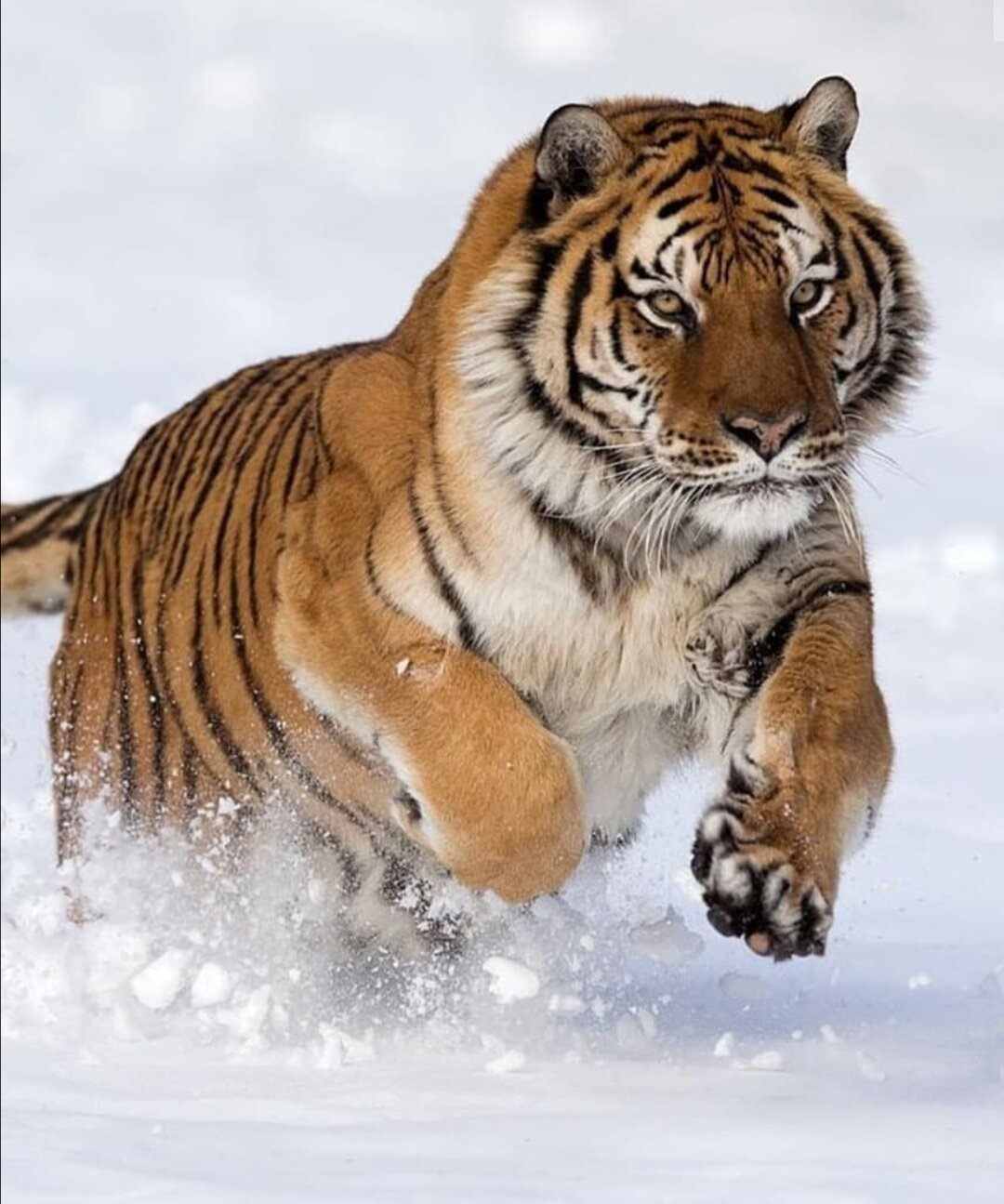 Картинка мага тигр