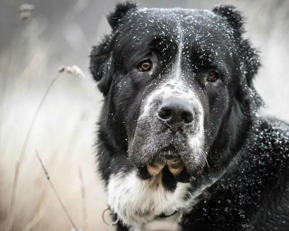 Фото собаки алабай