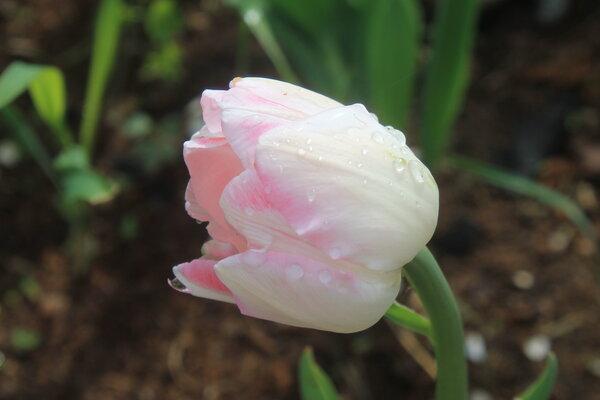 светится розовым