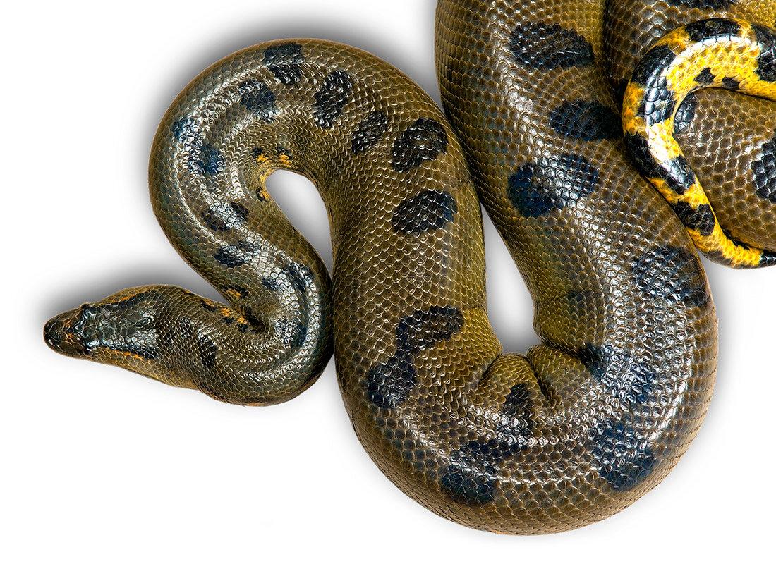 смотреть картинки змеи анаконды золотинка семейный