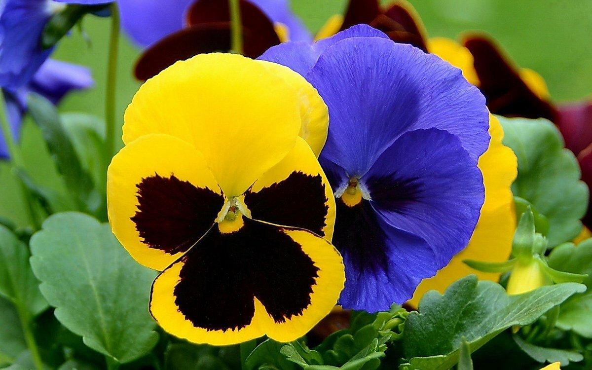 собрали цветы анютины глазки с картинками месте