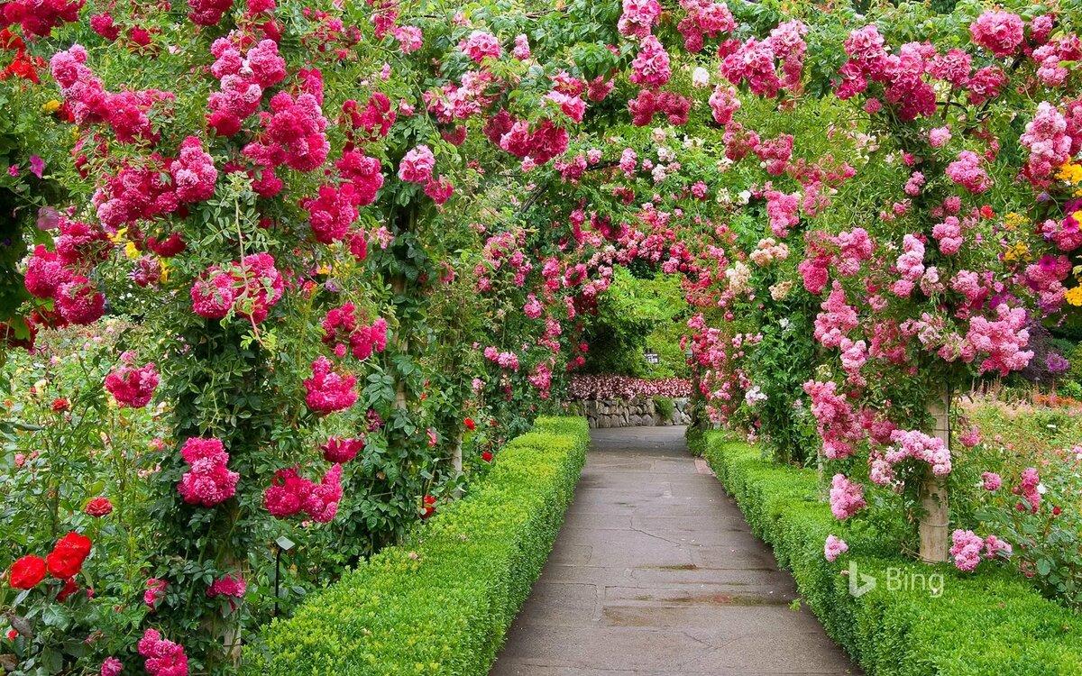 розовый сад фотографии сделал
