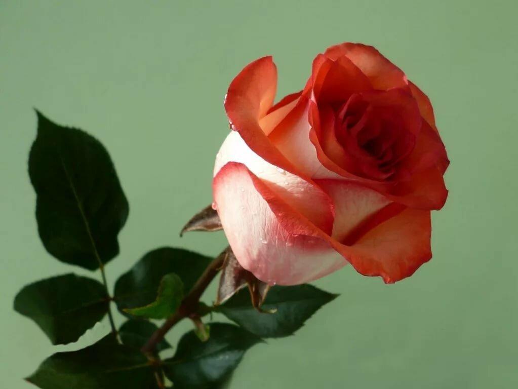 Картинки одна роза красивая