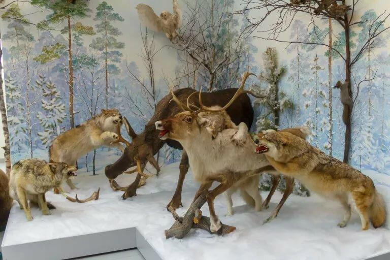 картинка как охотится волк зимой знаки, которые дают