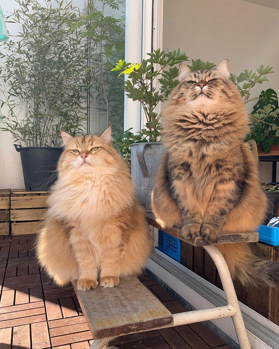Две красотули 🐱📸 Mies & Moof#кот #животные #пушистые #домашние_питомцы  #bestmeow #kitten #siberiancat #cute #fluffycat #fluffy