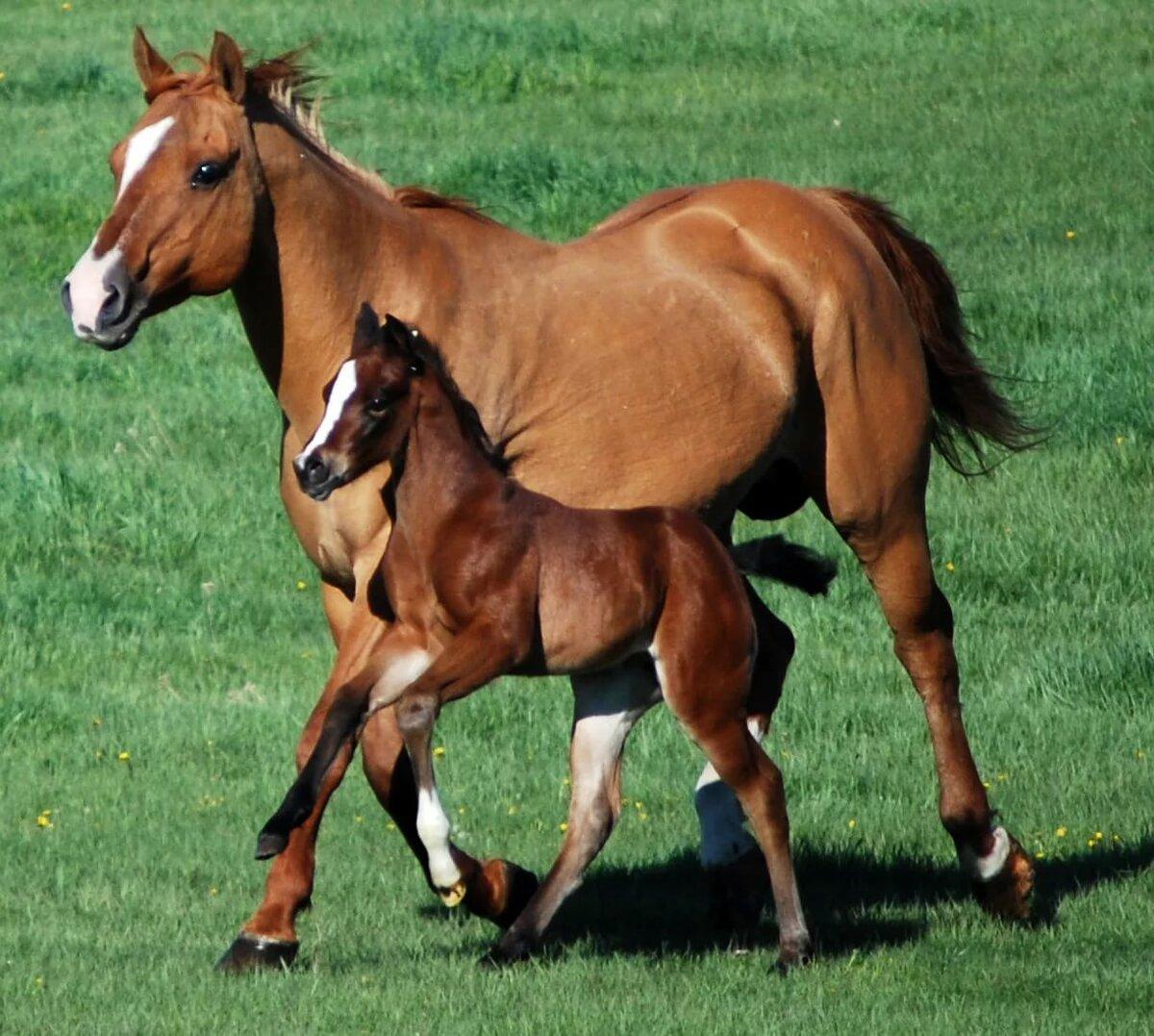 Картинки лошадь с жеребенком