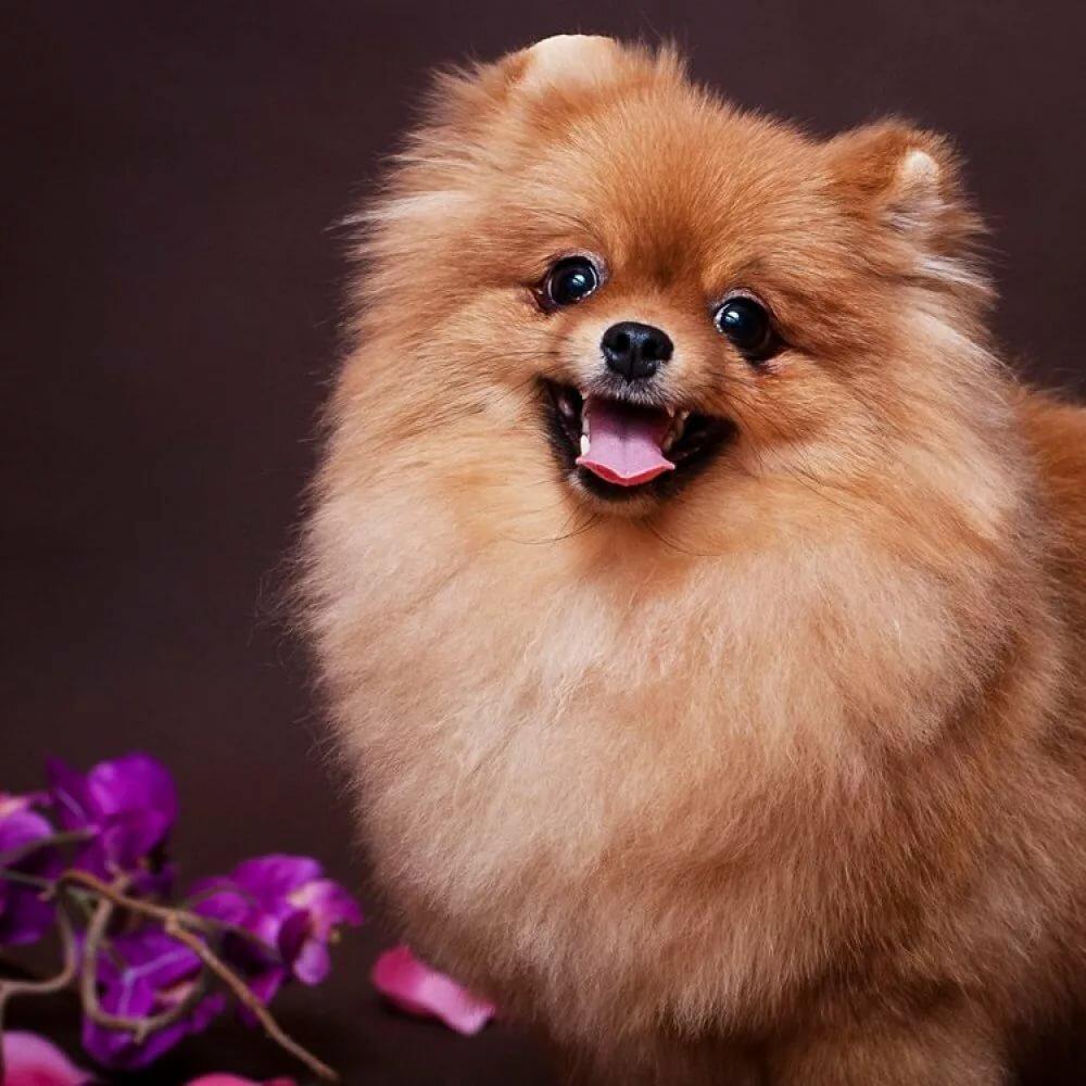 Фотографии собачек шпиц