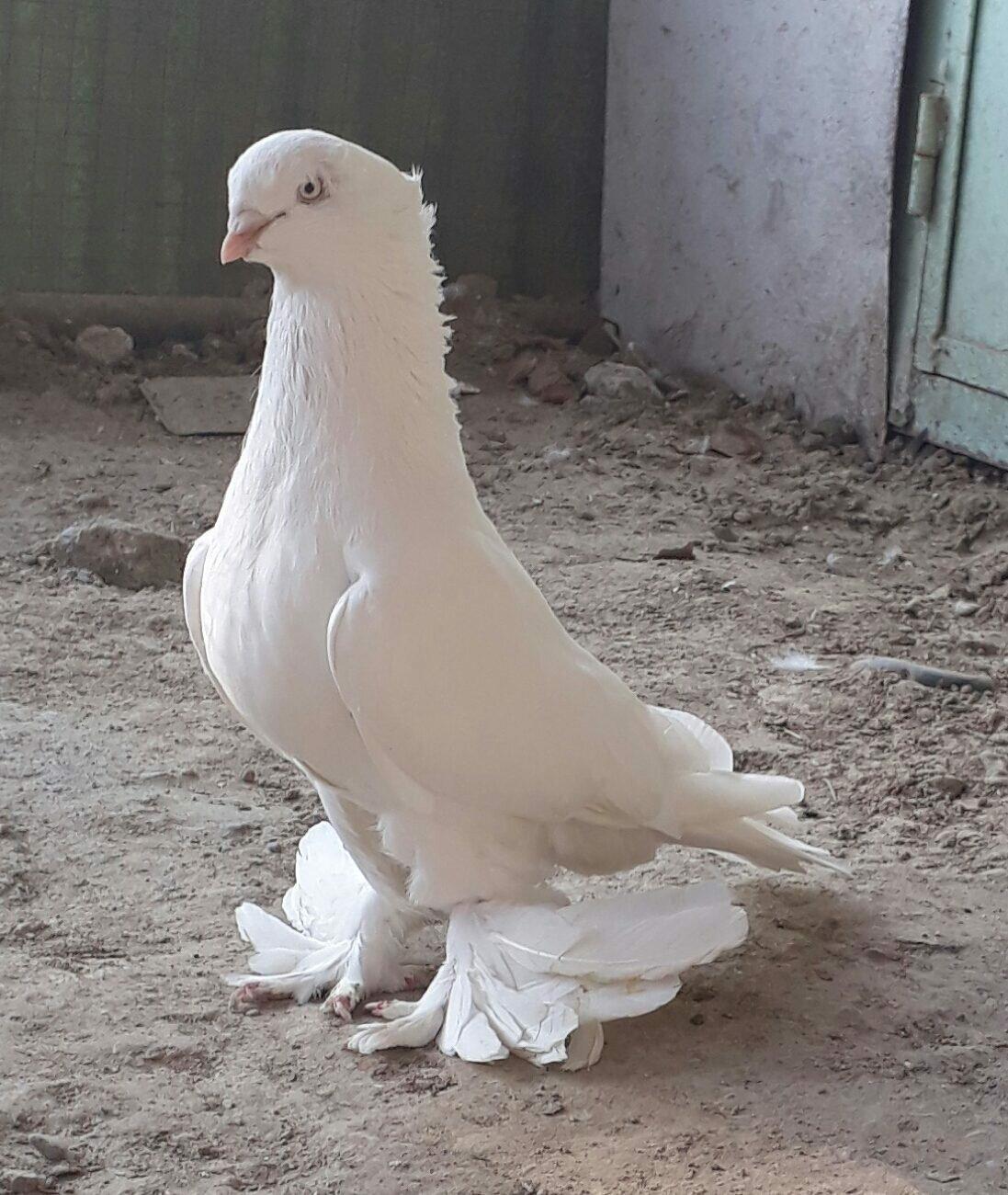 Картинка декоративные голуби