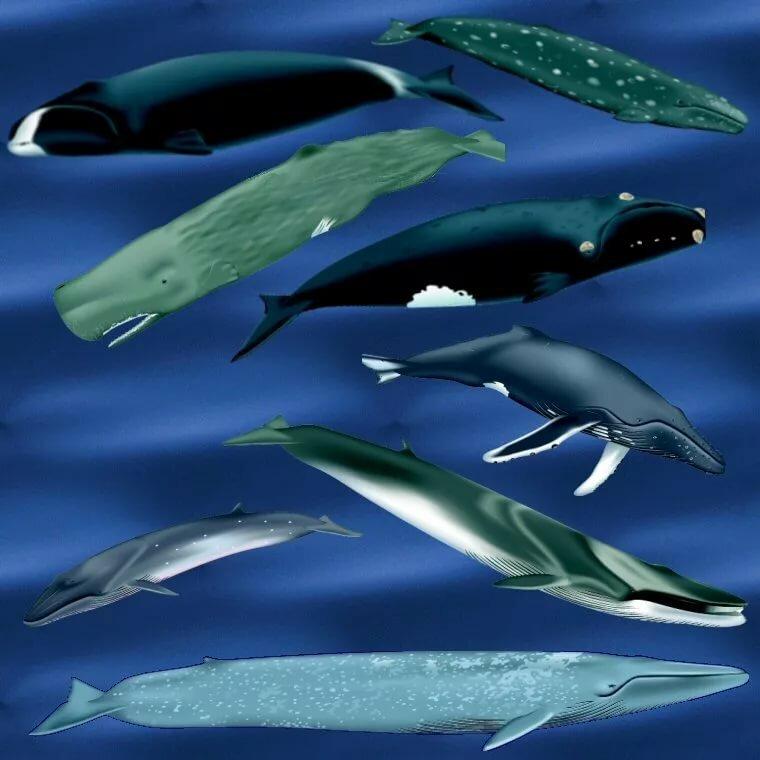 все виды китообразных картинки замерите его правильно