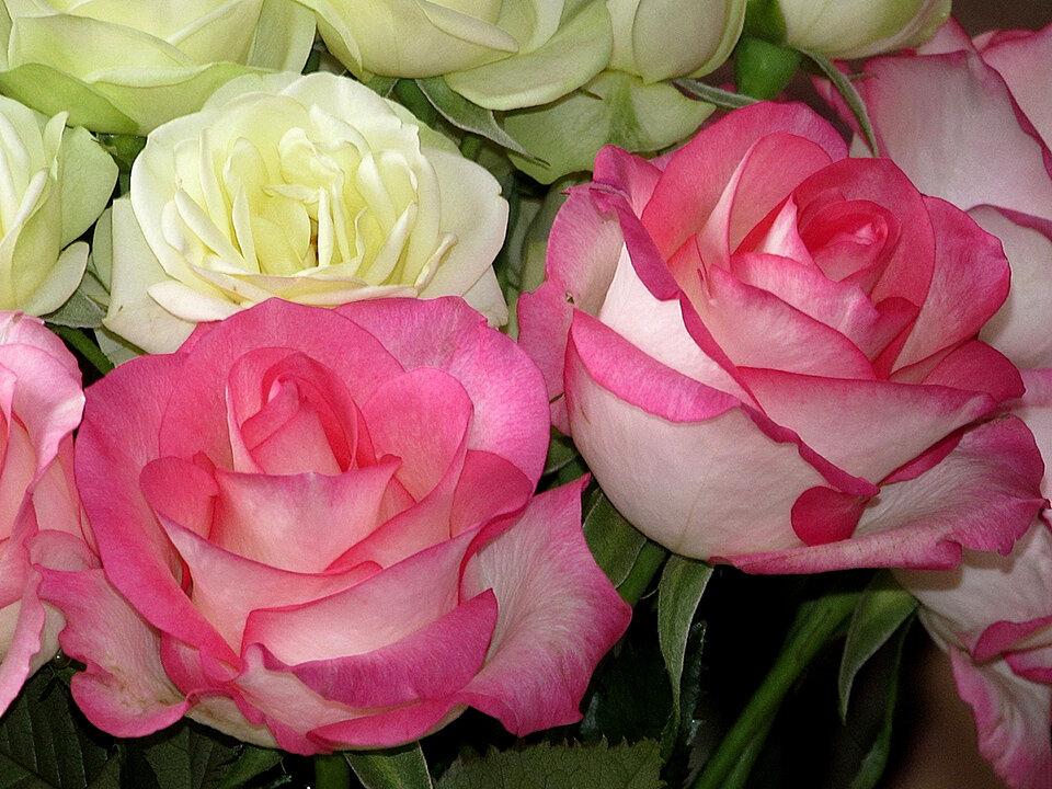 покажите новые розы фото огромный плюс