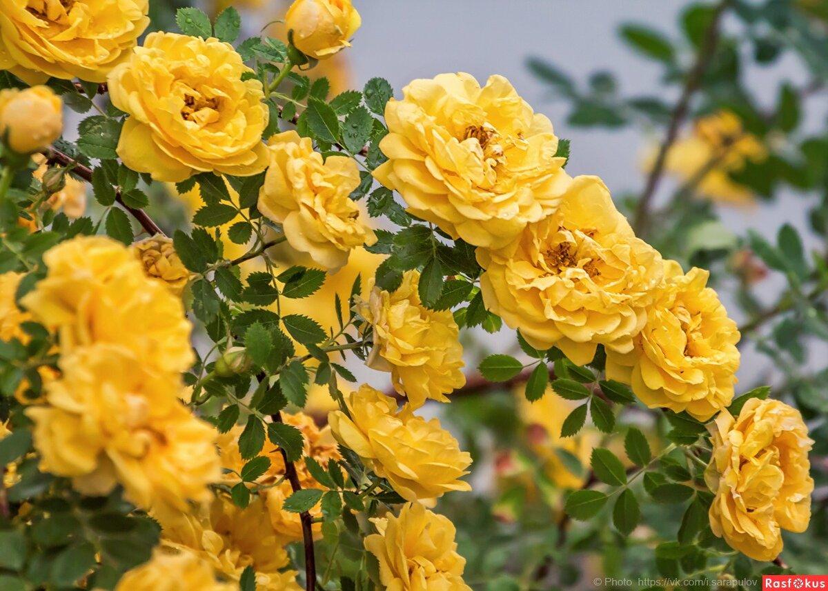 номер хорошей чайная роза фото кустарник этом