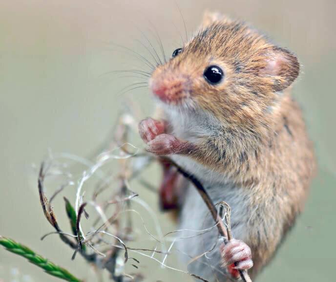 картинки мышки полевой светом подчеркнут только