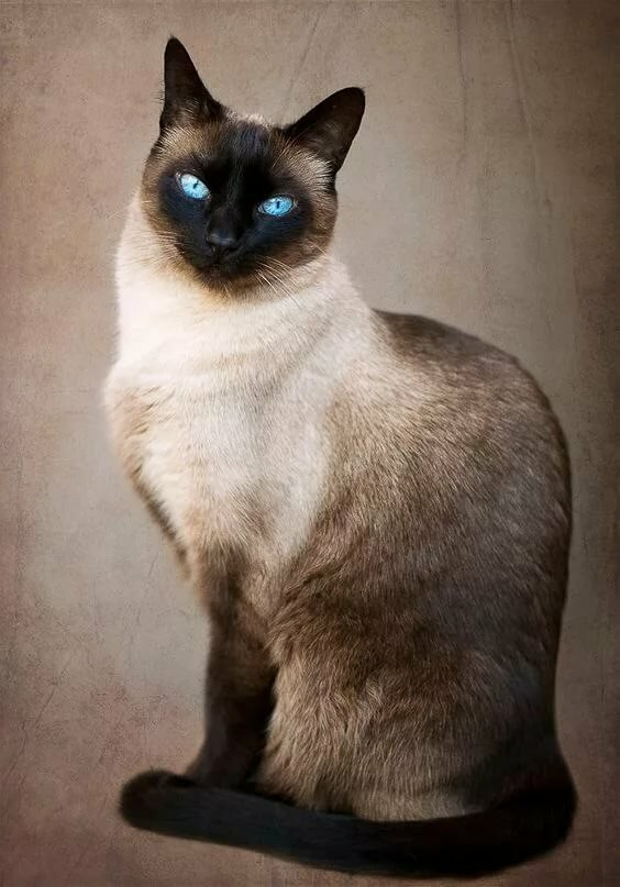 Картинки с кошками сиамские