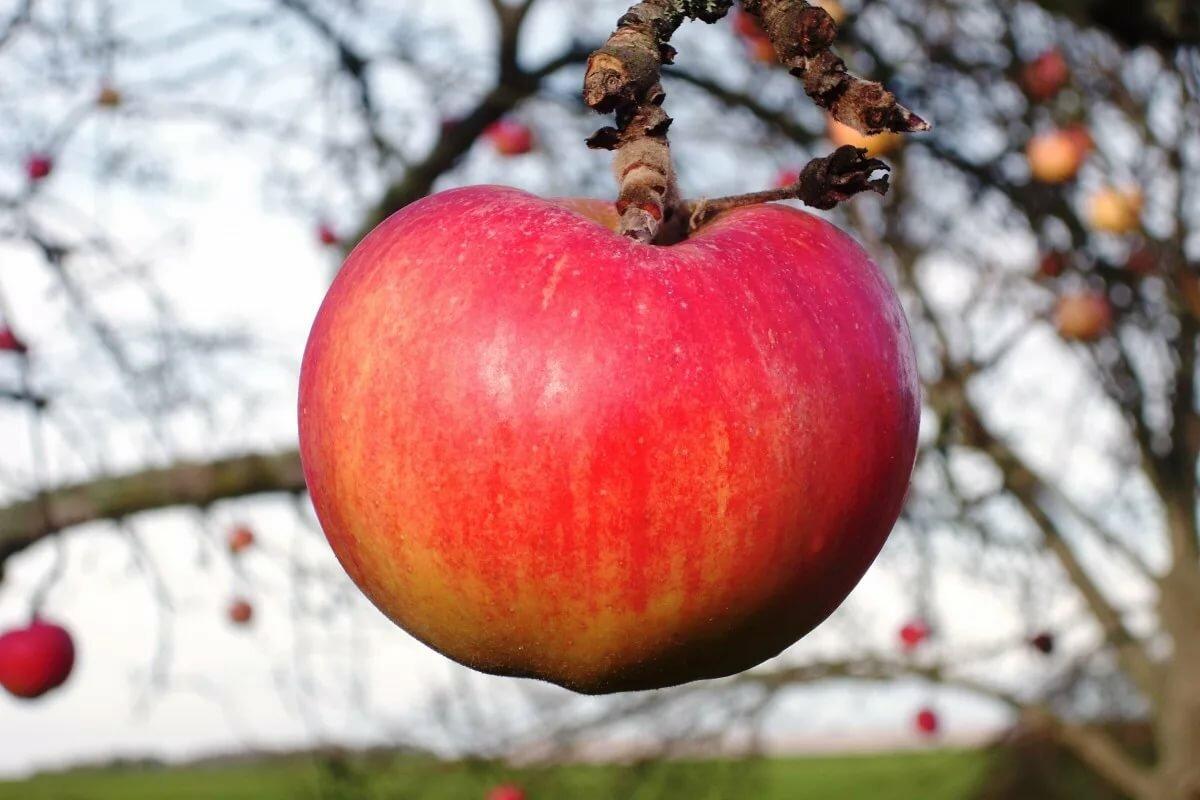 Картинка яблоня и яблоко