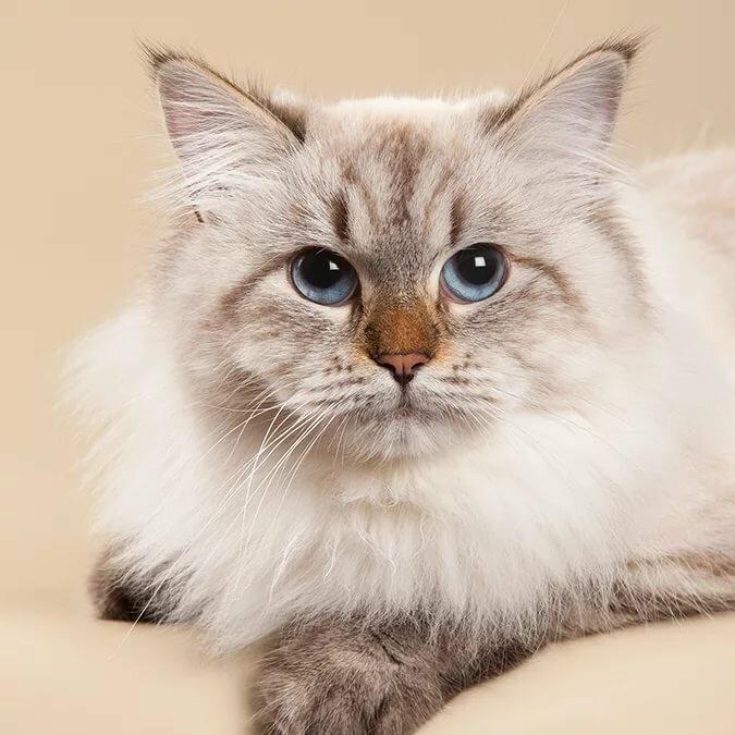 порода кошек сибирская маскарадная фото день без исключений