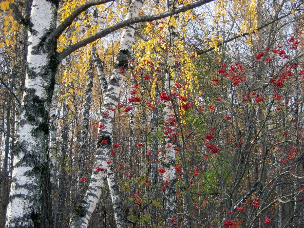 Картинки березы рябины ели